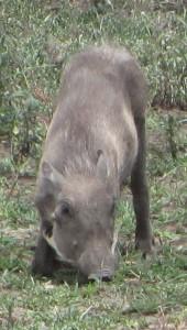 ~ wrattenzwijn Tanzania ~