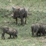 ~ wrattenzwijnen Tanzania ~