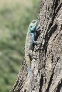 lizard Tanzania hagedis reptile