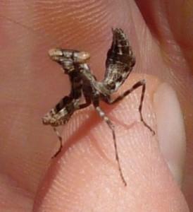baby praying mantis nymph, Tanzania