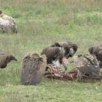 gieren/maraboe,Tanzania