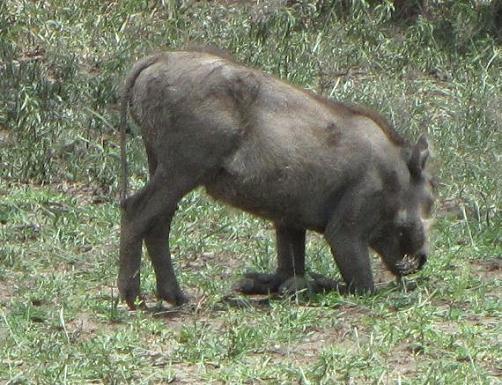 warthog kneeling savanna Tanzania wrattenzwijn
