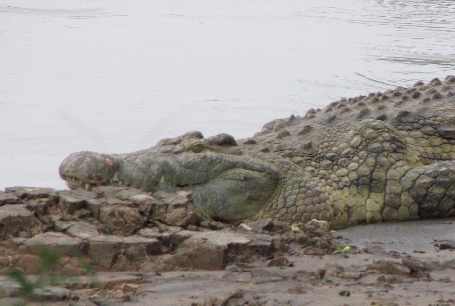 grote Nijlkrokodil Grumeti rivier