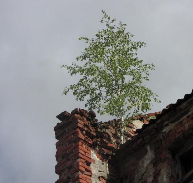 boompje groeit uit dak, Tallinn