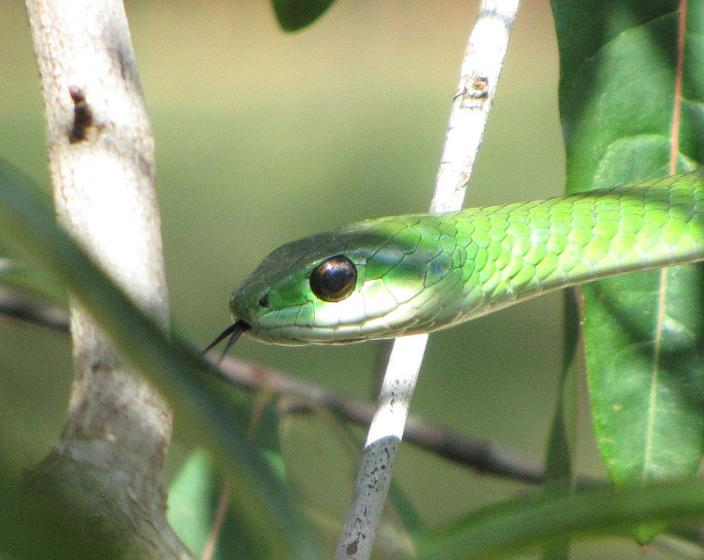 tree snake green split tongue Tanzania groene boomslang