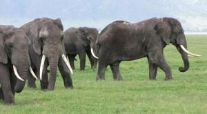 olifanten kudde Tanzania